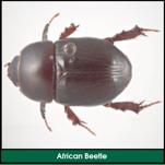 Lawn Grub: African Beetle (Curl Grub Adult)