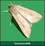 Lawn Grub: Armyworm Moth (Armyworm Adult)