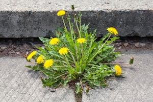 Dandelion (Taraxacum) | Summer Weeds Found in Australia