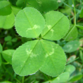 (Not so!) Common Australian Weed - Four Leaf Clover