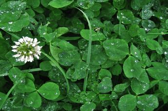 Common Australian Weeds - Clover