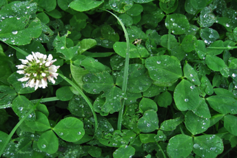 Common Australian Weeds - Clover