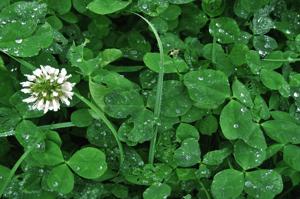 Clover (Trifolium) | Summer Weeds Found in Australia