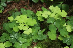 Creeping Oxalis (Oxalis Corniculata) | Summer Weeds Found in Australia