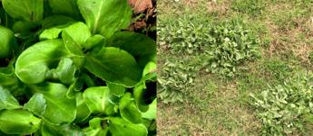 Common Australian Weeds - Cudweed