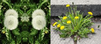 Common Australian Weeds - Dandelion