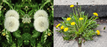 Common Australian Weeds - Dandelion