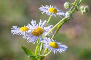 Fleabane (Erigeron) | Summer Weeds Found in Australia