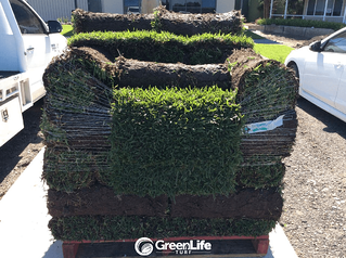 Green Life Turf Sir Walter DNA Certified Turf on Pallet