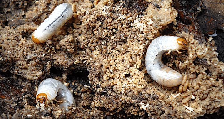 Get Rid Of Root Feeding Lawn Grubs Beetle Larvae In Your