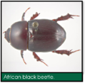 Signs of Lawn Grubs - African black beetle.png