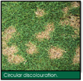 Signs of Lawn Grubs - Circular Discolouration.png