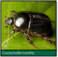Signs of Lawn Grubs - Cockchafer beetle.png