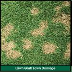 Lawn Grub Infestation Lawn Damage: Yellow, Brown, Dying Spots