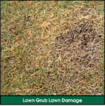 Lawn Grub Infestation Lawn Damage: Yellow, Brown, Dying Spots Spreading