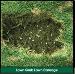 Lawn Grub Infestation Lawn Damage: Spongey, Loose Lawn, Pulls Back Like Carpet