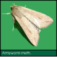 Signs of Lawn Grubs - Armyworm moth.png