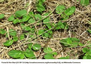Tar Vine (Boerhavia Coccinea) | Summer Weeds Found in Australia