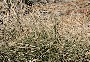 Windmill Grass (Chloris) | Summer Weeds Found in Australia