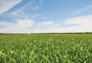 Green Life Turf farms Sir Walter Buffalo Eureka Kikuyu Nullarbor Couch and Platinum Zoysia grasses