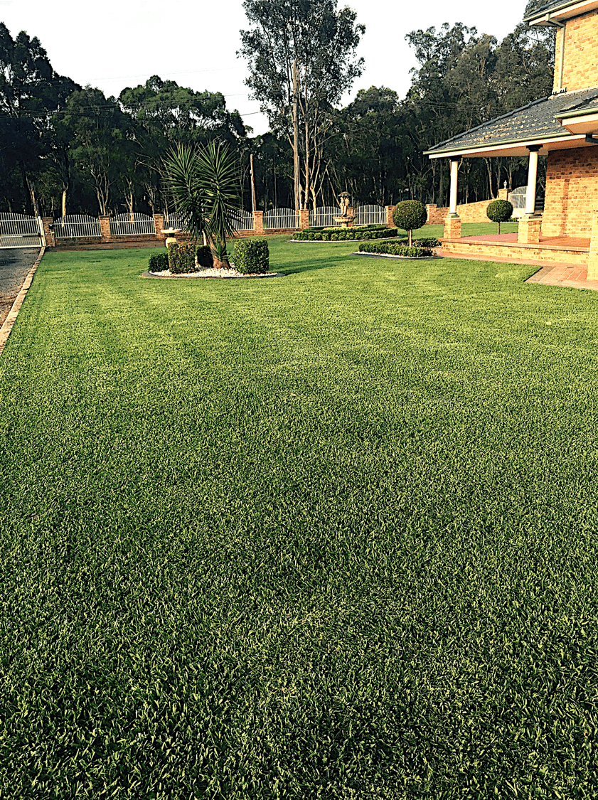 DNA Certified Sir Walter Buffalo Grass - a great family lawn