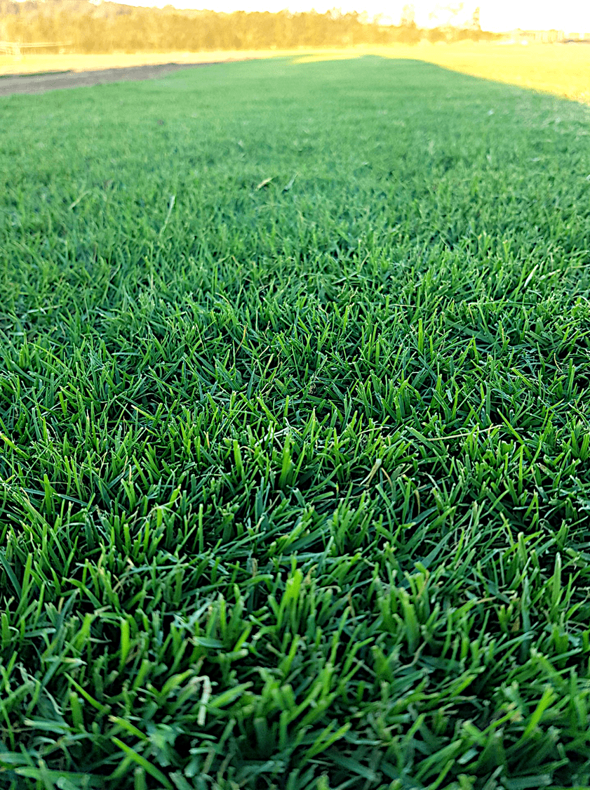 TifTuf Bermuda Grass - a great lawn for schools and recreation parks
