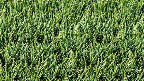 Sir Grange Zoysia Grass
